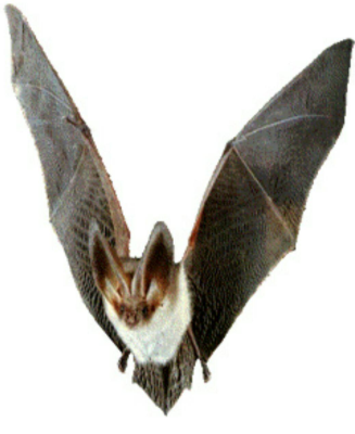 خفاش كوچولو