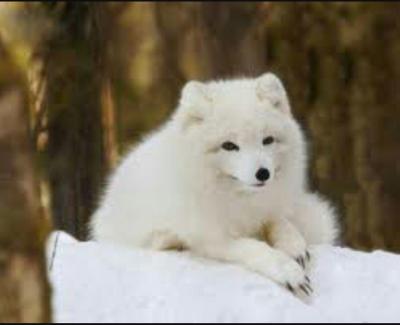 یخچال روباه قطبی