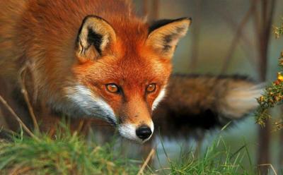 همکاری روباه ها