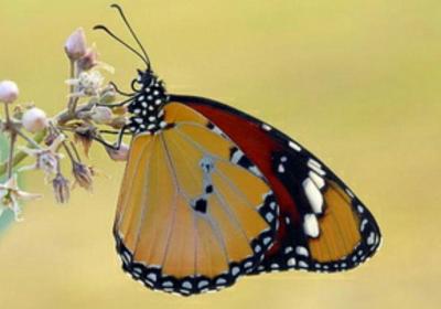 شاخک پروانه