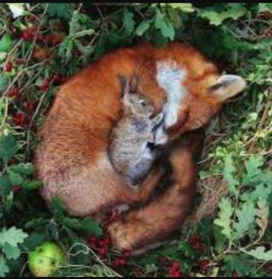 روباه و خرگوش