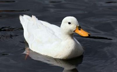 اردکها دارند آب تنی می کنند
