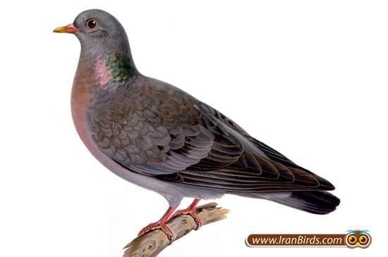 باورها و دانسته های ایلامیان   درباره ی پرندگان